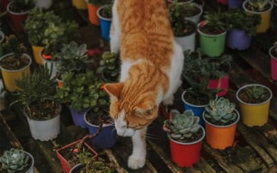 Are Succulents Poisonous To Cats?