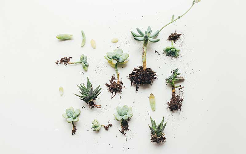 Avoid these types of leaves when propagating your succulents
