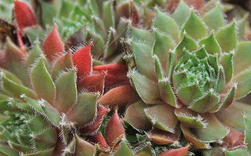 Everything You Need to Know About Hardy Succulents