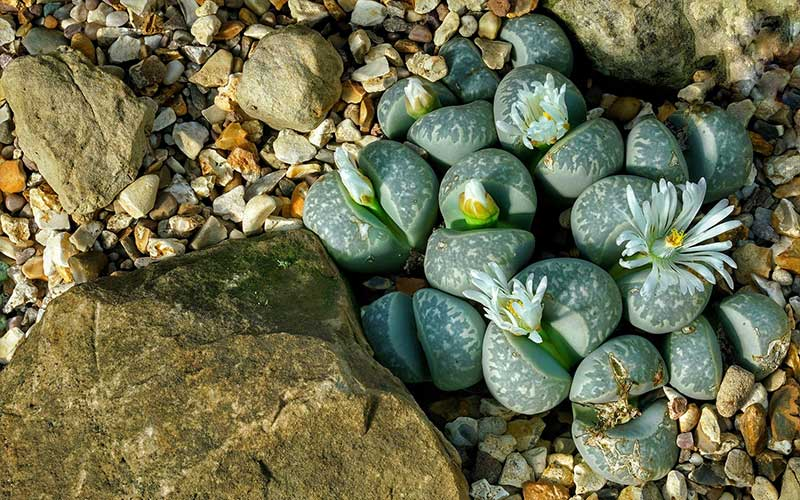 How to Grow and Care for a Living Rock Succulent