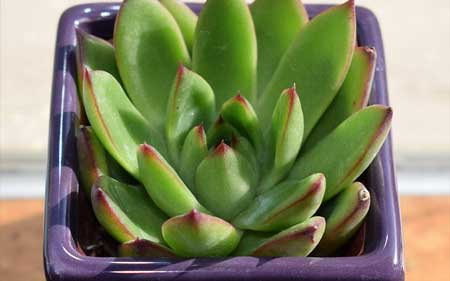 Is Echeveria Best for Indoors Or Outdoors?