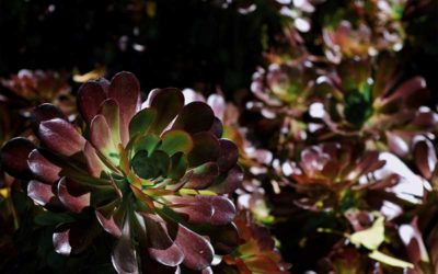 List of Purple Succulents You Can Grow At Home