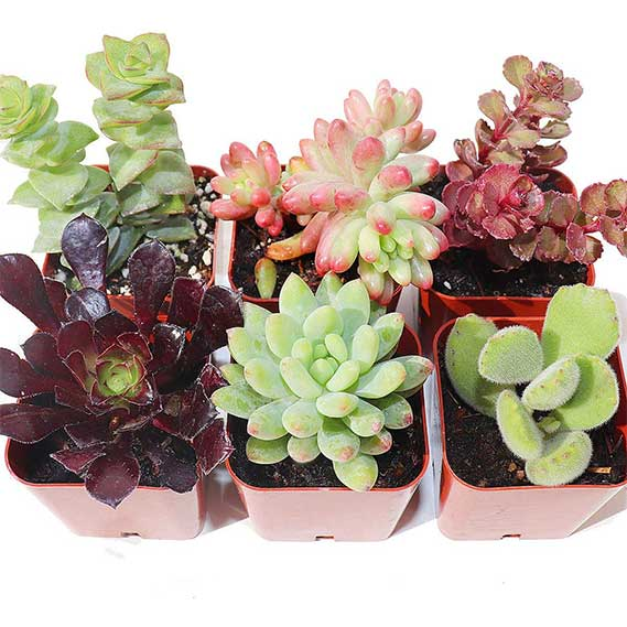 Succulent Plants 6-Pack, Fully Rooted in Planter Pots with Soil