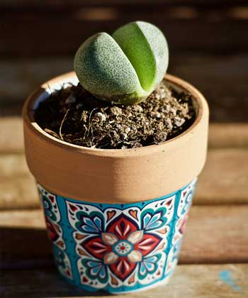 What Are the Different Varieties of Living Rock Succulents?