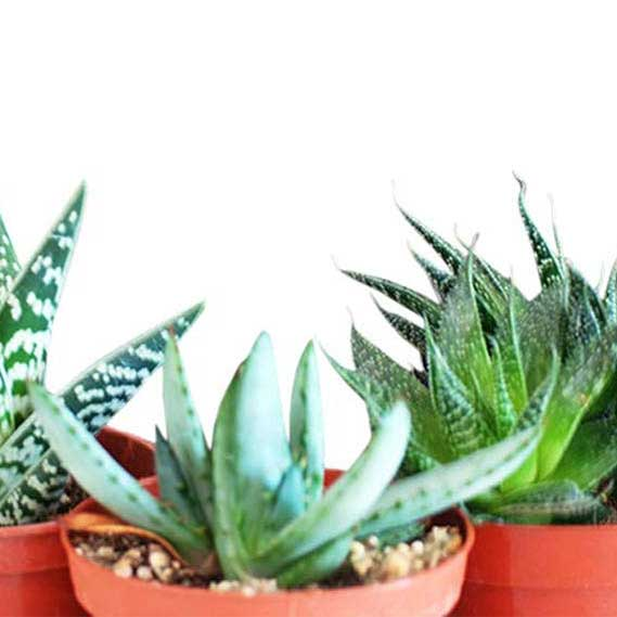 3 Different Aloe Plants - Easy to grow/Hard to Kill!