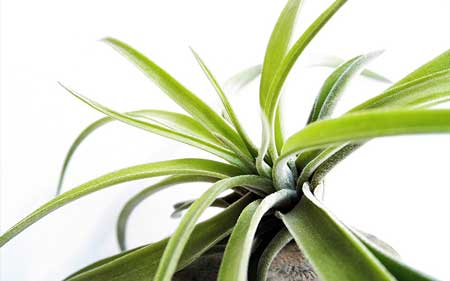 Caring for Harrisii Air Plant