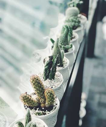 Cut the stretched out part of the cactus to use it for propagation