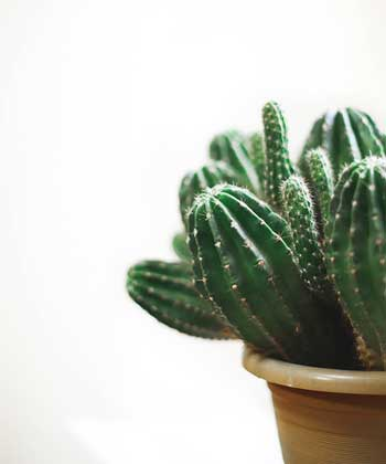 How often do you have to water your cactus plant?
