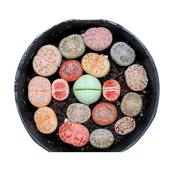Pack of 5 Live South Africa Living Stone Flower Plants