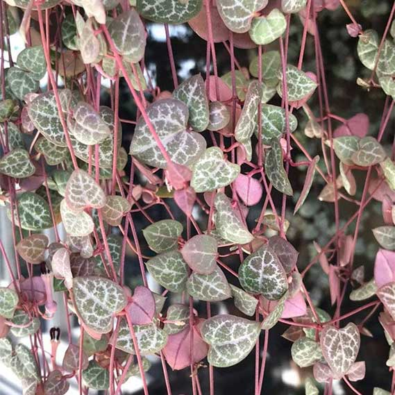 String of Hearts Plant, Rare Colors, Ceropegia Wodii