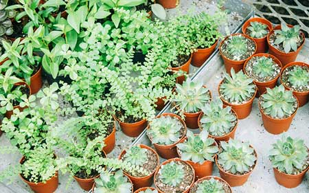 When Is The Best Time To Repot Your String of Hearts?