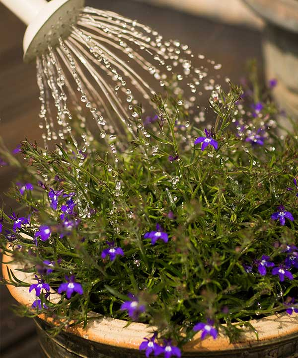 How to Water and Fertilize Your Ice Plants